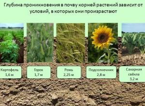 биология корней