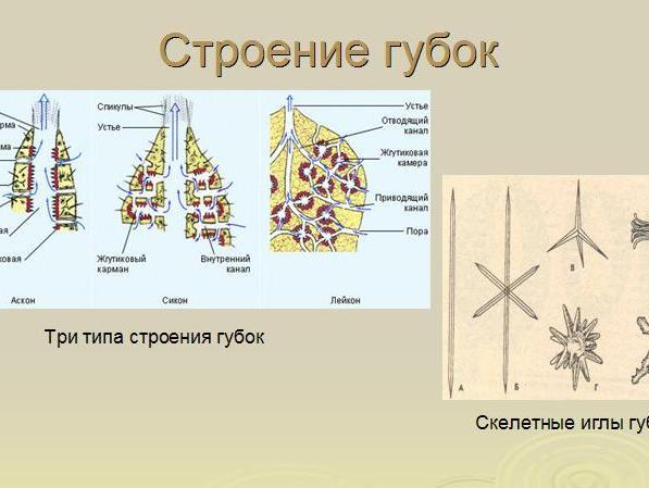 губки презентация по биологии