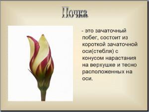 Презентация по биологии почки растений