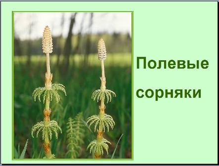Презентация по биологии Сорняки