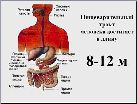 Презентация на тему пищеварительная система человека 4 класс