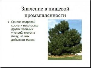 хвойные растения презентация по биологии