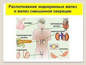 Презентация по биологии эндокринная система 8 класс