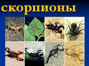 Презентация по биологии 7 класса Скорпионы