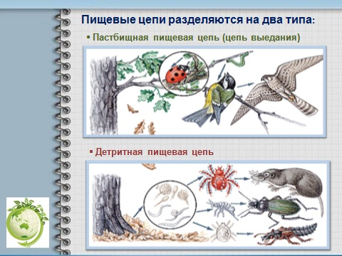 Презентация по биологии экологии Пищевые цепи