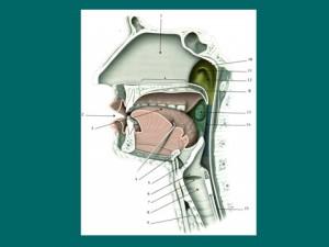Презентация по биологии 8 класс дыхательная система
