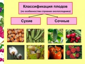 Презентация по биологии 6 класса Плоды