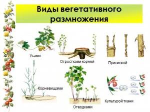 Презентация по биологии размножение растений