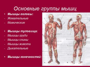 презентация по биологии 8 класс мышцы