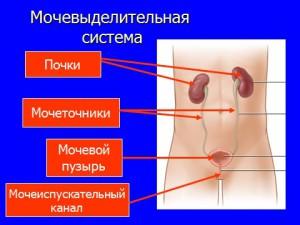 Презентация по биологии 8 класс Органы выделения человека