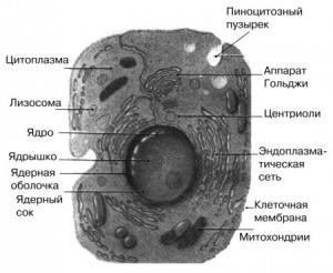 животная клетка