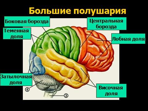 презентация по биологии 8 класса нервная система человека