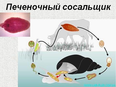 Презентация по биологии 7 класс паразитические черви