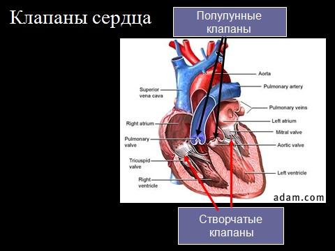 Презентация по биологии 8 класс Сердце и кровообращение