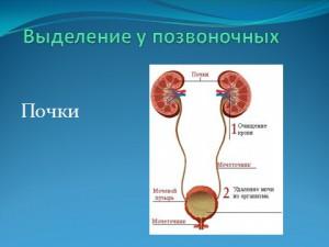 Презентация по биологии выделение у растений и животных