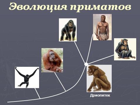 Презентация по биологии 9 класс Эволюция приматов