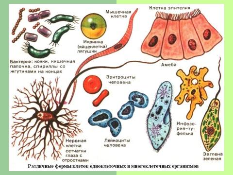 Презентация по биологии на тему клеточная теория