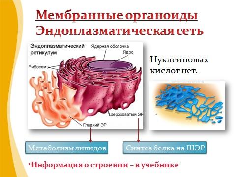 Внутреннее строение и органоиды клетки презентация скачать бесплатно по биологии 9 класса вы сможете, мы это знаем.