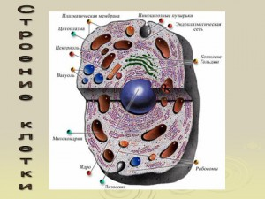 Презентация по биологии 9 класса на тему строение клетки