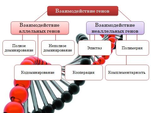 Скачать презентацию powerpoint по биологии на тему Взаимодействие генов