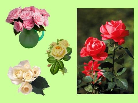 Роза майская шиповник