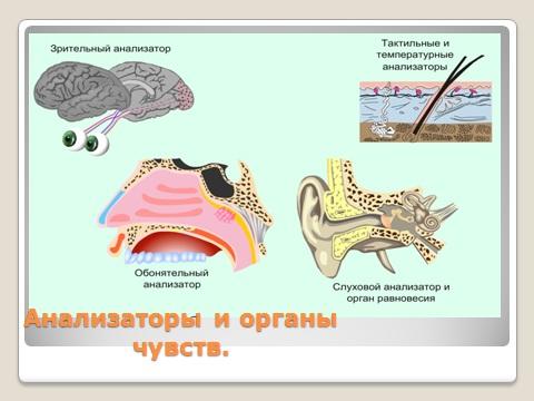 Органы слуха, осязания, равновесия, зрения