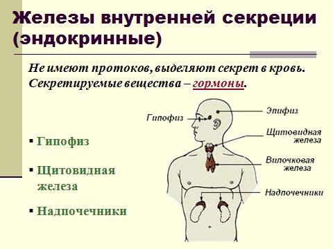 Презентация по биологии 8 класса эндокринные железы