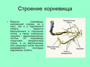 клубни, корневища и луковицы