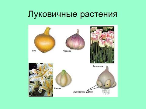 луковицы - стебли