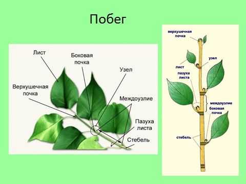 побеги растений