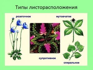 Почки и побеги растений