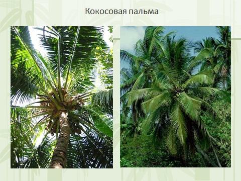 Кокосовые пальмы презентация по биологии 6 класс