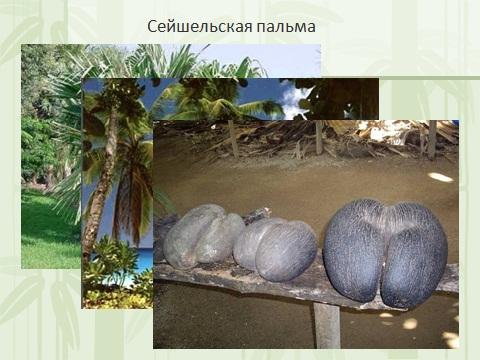 Плоды сейшельской пальмы