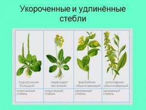 Стебель, строение стеблей, виды стебля