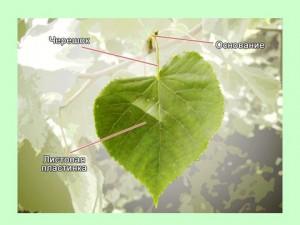 Строение листьев растений