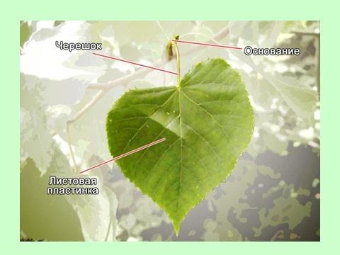 Биология 6 класс тема растения