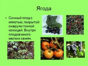 плоды и их разновидности