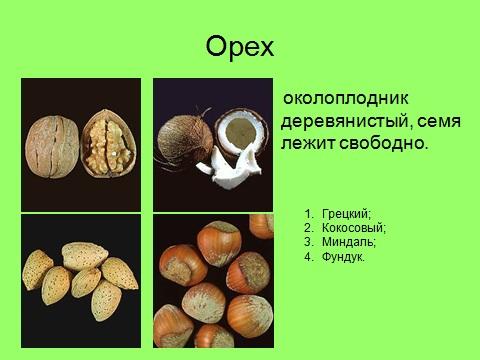 плоды орехов