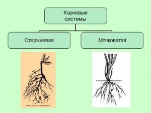 Презентация по биологии 6 класса на тему виды и типы корней