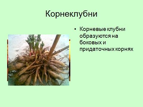 корнеклубни - презентация 6 класс биология