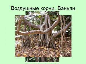 Воздушные корни Баньяна
