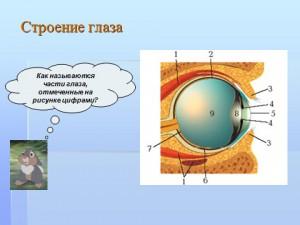 строение и функции глаз - зрительных анализаторов