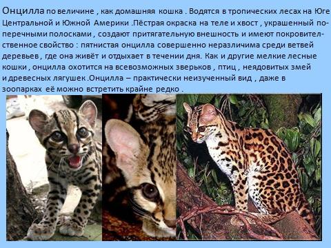 Дикая природа диких кошек