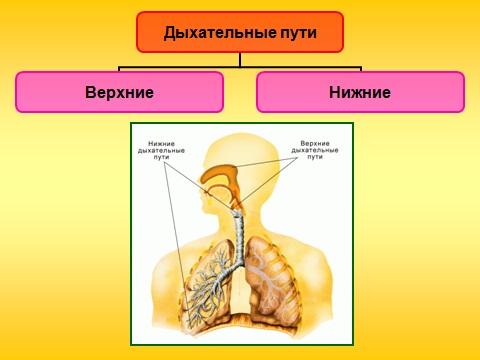 органы дыхания презентация биология 8 класс