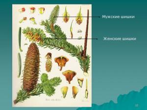голосеменные растения биология 6 класс
