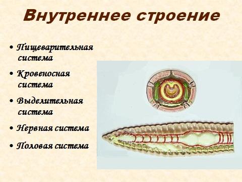 Кольчатые черви - внутреннее строение