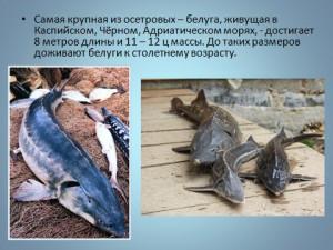 Костистые рыбы презентация по зоологии 7 класс