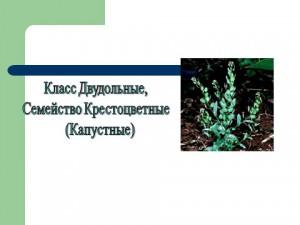 Семейство крестоцветные класса двудольные растения