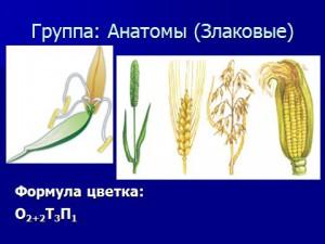 Презентация на тему Класс однодольные цветковые растения