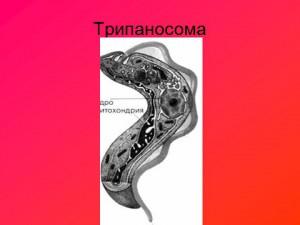 Одноклеточные паразиты - презентация по биологии